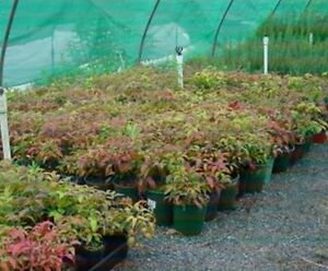 NANDINA-Japanese-Bamboo-25-30cm-high-in-6-034-Pots-Garden-Hedge-Plant-5-for-25-00