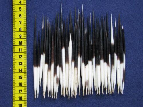 50 Stachelschwein Stacheln , Bastelware, Posen, 8 -13 cm