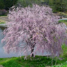 "Shidare Weeping Yoshino Cherry Tree Prunus Established Rooted 2.5"" Pot 3 Plants"