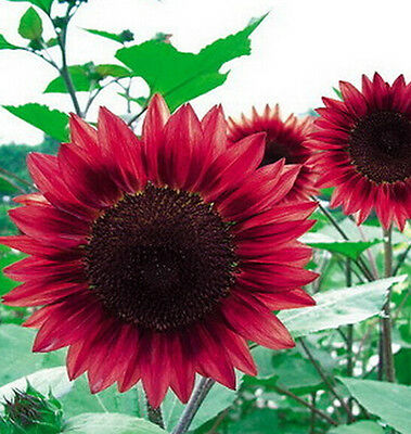 15 Seeds Sunflower Seed red Fortune Flower Seed ~1 Pack 15 Seeds~