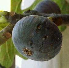 Bourjasotte Noire fig tree- 5 cuttings- rare French Variety