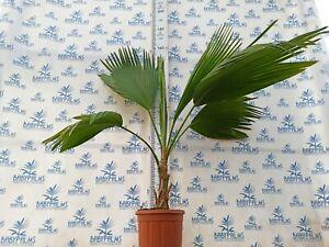 Pritchardia hillebrandii 140 cm, pot 30 cm