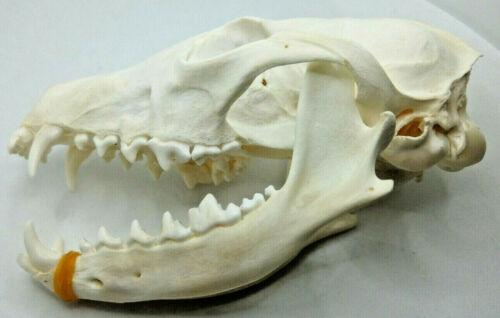 Real animal skull Real bone New// craft 1 Pcs Real Snow Fox skull