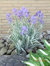 THRIVING VARIEGATED JAPANESE IRIS TECTORUM VARIEGATA SMALL PLANT WILL MULTIPLY