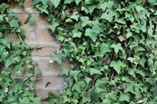 ENGLISH IVY plant 10 Live rooted cuttings evergreen ground cover Hardy Vines
