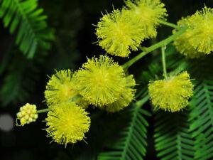 15-Semillas-de-Acacia-Dealbata-Acacia-Mimosa