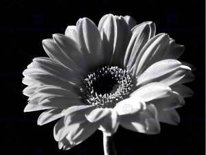 Black white gerbera flower bloom photo art print poster picture image is loading black white gerbera flower bloom photo art print mightylinksfo