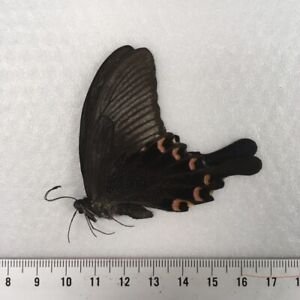 Papilio biano thrasymedes MALE - Taiwan - Unmounted