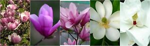 Magnolia Tree Saucer Ann Jane Sweetbay Or Southern 1 Plant