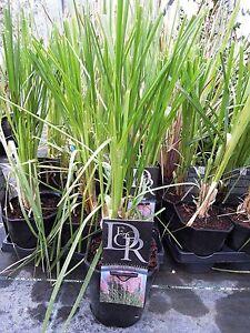 Cortaderia-selloana-Rosea-rosa-Pampasgras-70-80cm-keine-Jungware