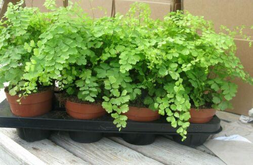 Adiantum Fragrans fern house plant in 12//13cm pot Maidenhair fern
