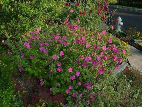 rock rose Pavonia lasiopetala $2.50-$3.50 —20//100 seeds