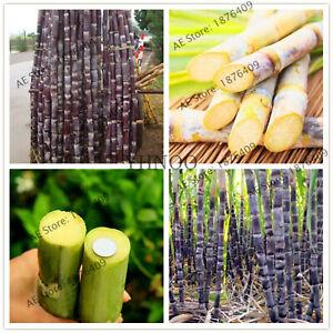 Vietnam-Sugar-Cane-Seeds-Plants-Succulent-Fruit-Tree-Bonsai-Herb-For-As-100-bag