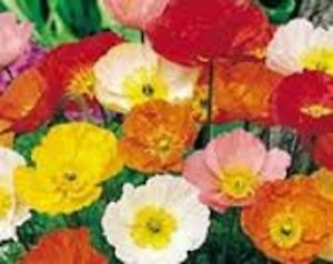 Poppy iceland mixed 25 seeds perennial flower bright satin like image is loading poppy iceland mixed 25 seeds perennial flower bright mightylinksfo