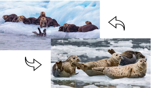 3D Motion Lenticular Postcard Greeting Card Seals and Otters on floating ice
