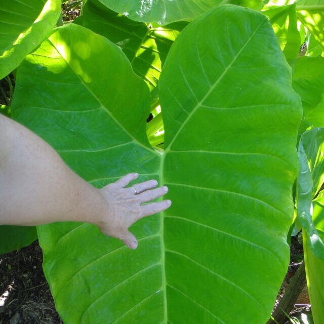 SPECIAL~GIANT CLUMPING ELEPHANT EAR~((Tropical Lime Zinger ))~Xanthosoma~1 PLANT