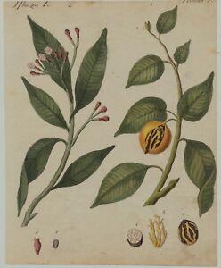MUSKAT-Muskatnuss-Original-Kupferstich-um-1790-Kuchengewuerz-Koch-kochen-Botanik