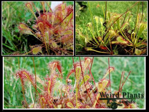 Carnivorous Plants Various Species Seeds Mix 740+