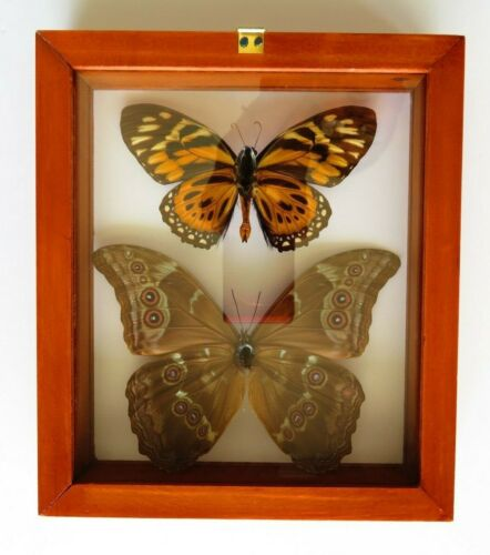 2 REAL FRAMED BUTTERFLY BLUE MORPHO DIDIUS /& BIG TIGER PAPILIO ZAGREGUS AMAZING