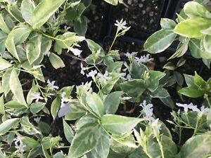 Trachelospermum Asiaticum /'variegatum/' Asiatic Jasmine Pint Plant