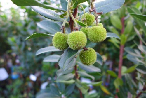 Arbutus unedo erdbeerbaum environ 160 cm dureté les arbres verts forme fruits