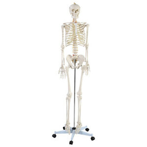 new life size human anatomical anatomy skeleton medical model + stand, Skeleton