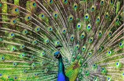 Peacock an Animal  Very High Quality Poster A0,A1,A2,A3,A4,A5,A6  - 154