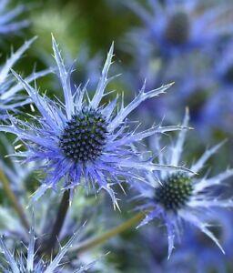 30-SEA-HOLLY-ALPINE-BLUE-FLOWER-SEEDS-ERYNGIUM-PERENNIAL-DEAR-amp-RABBIT-RESIST