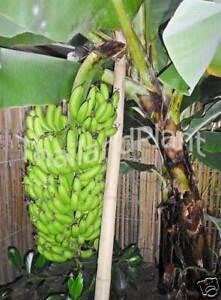 Image Is Loading Musa Aaa Dwarf Cavendish Pisang Badak Banana Plant