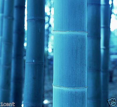 60 seeds of blue Moso Bamboo Bambusa tree