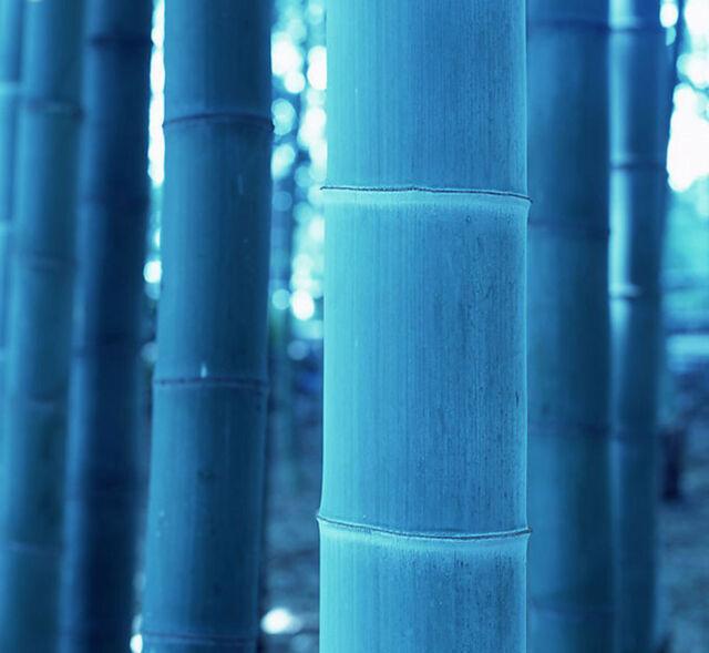 60 seeds of blue Moso Bamboo Bambusa tree