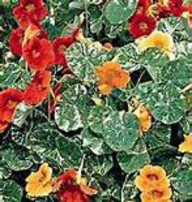 Nasturtium- Variegated Dwarf Alaska Mix!  YOU CAN EAT THE FLOWERS! Comb.S/H!