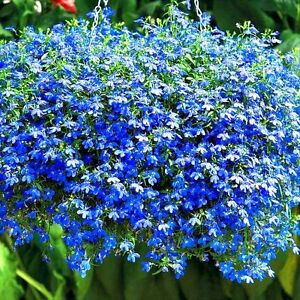 Annual Lobelia Will Grow Anywhere But This Compact Plant Looks Especially Nice In Hanging Baskets And Borders Once Elished Requires Little