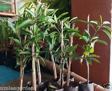 """King Of Mango """" Alphonso """" Hybrid Sweet Variety (Grafted) - 1 healthy live plant"""