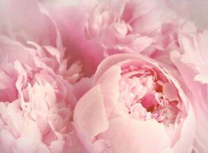 -NON WOVEN-Flower-Blossom Wallpaper Panorama 609V Photo Wall Mural-PEACH ROSES-