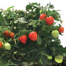 Miracle-Gro AeroGarden Mighty Mini Tomato 3-Pod Seed Pod Kit Non-GMO