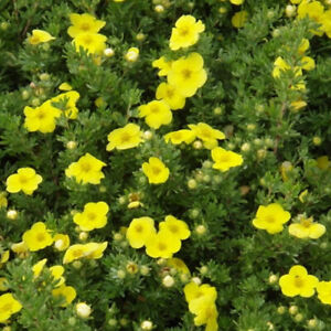 hardy outdoor garden bush pale yellow saucer shaped flowers in summer Garden Shrub Plants Potentilla primrose
