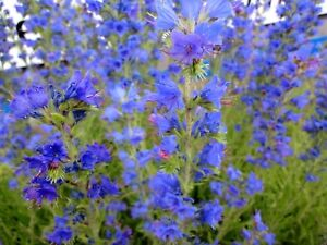 Cold hardy echium vipers bugloss tower of jewels vulgare perennial image is loading cold hardy echium viper 039 s bugloss tower mightylinksfo