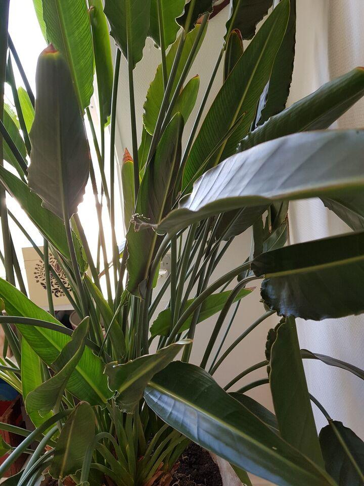 Potte plante, Bird of paradise
