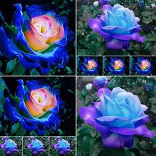 HOT Rare Dragon Fairy Rose Flower Seeds Garden Decor Perennial Home Garden Plant