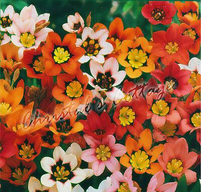 12 MIX COLOUR GARDEN SPARAXIS BULB  SPRING GROWING NICE BEATIFUL SUMMER FLOWER