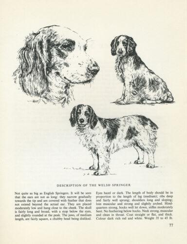 WELSH SPRINGER SPANIEL VINTAGE DOG PRINT SKETCH PAGE ARTIST BRIDGET OLERENSHAW