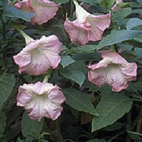 Datura Angel/'s Trumpet Pink Delight Seeds