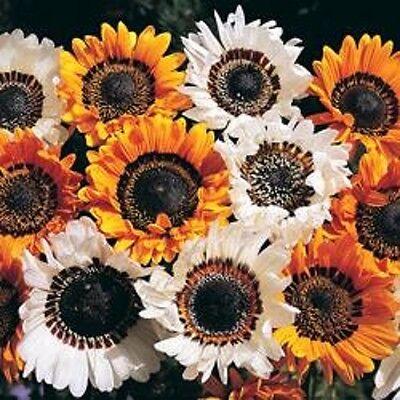 Orange Prince of the Veld Cape Daisy VENIDIUM FASTUOSUM 100 Seeds 100 Graines