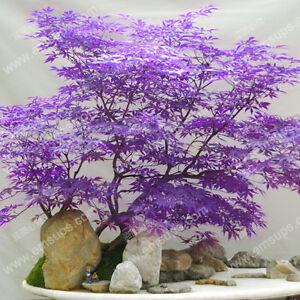 Japanese Purple Ghost Maple Tree Seeds Acer Palmatum Ebay