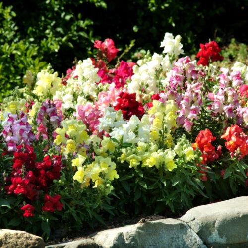 Seeds Snapdragon Low Mix Flowers Outdoor Annual Garden Cut Organic Ukraine