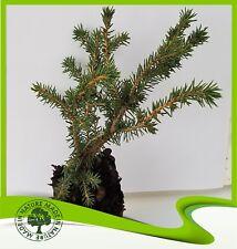 Picea abies Nestfichte Nidiformis 15-20cm