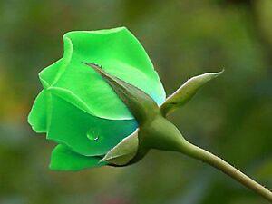 25 Pcs Rare Green Rose Seeds Perennial Flower Seeds For Garden Decor