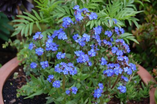 ANCHUSA Capensis 500 Graines de Buglosse Blue Angel FLEUR BLEUE