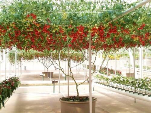 Lycopersicum esculentum 10 graines TOMATE ARBUSTIVE GIANT TREE K38 TOMATO SEEDS